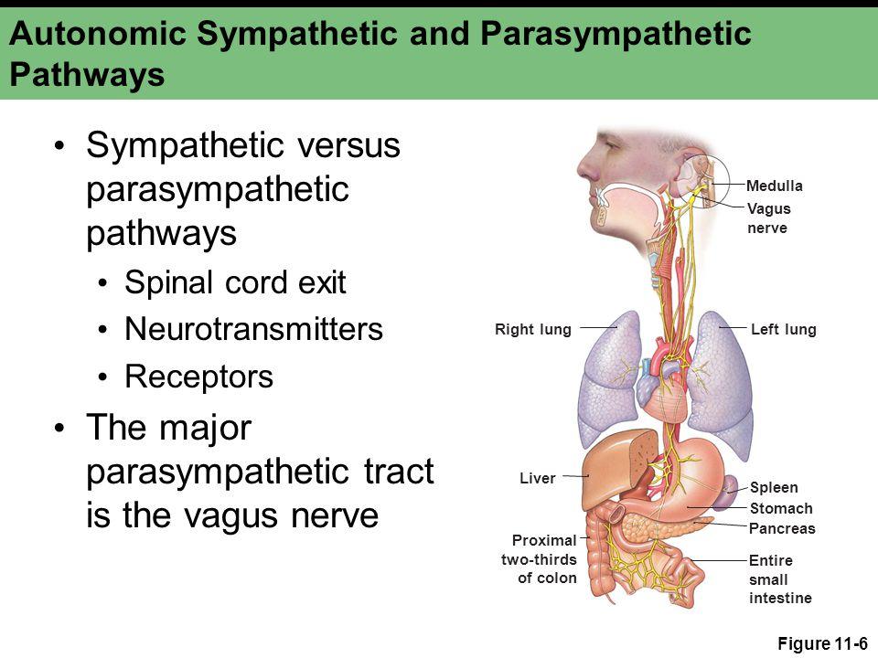 Autonomic Sympathetic and Parasympathetic Pathways Sympathetic versus parasympathetic pathways Spinal cord exit Neurotransmitters Receptors The major