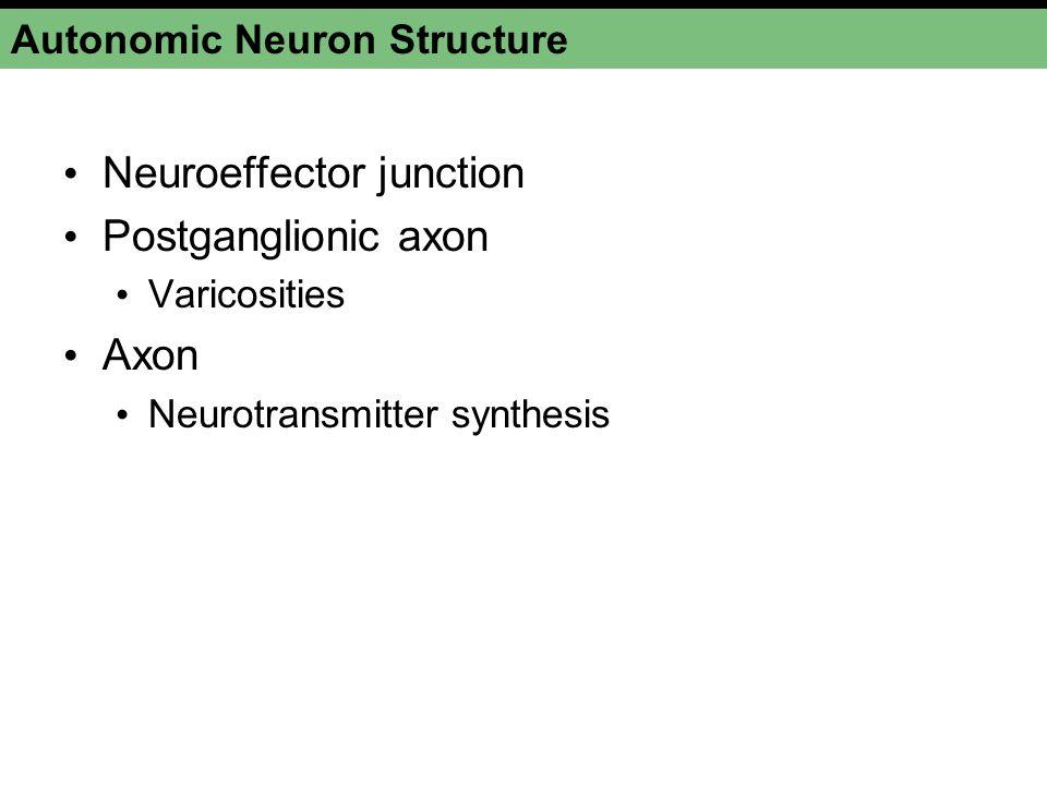 Autonomic Neuron Structure Neuroeffector junction Postganglionic axon Varicosities Axon Neurotransmitter synthesis