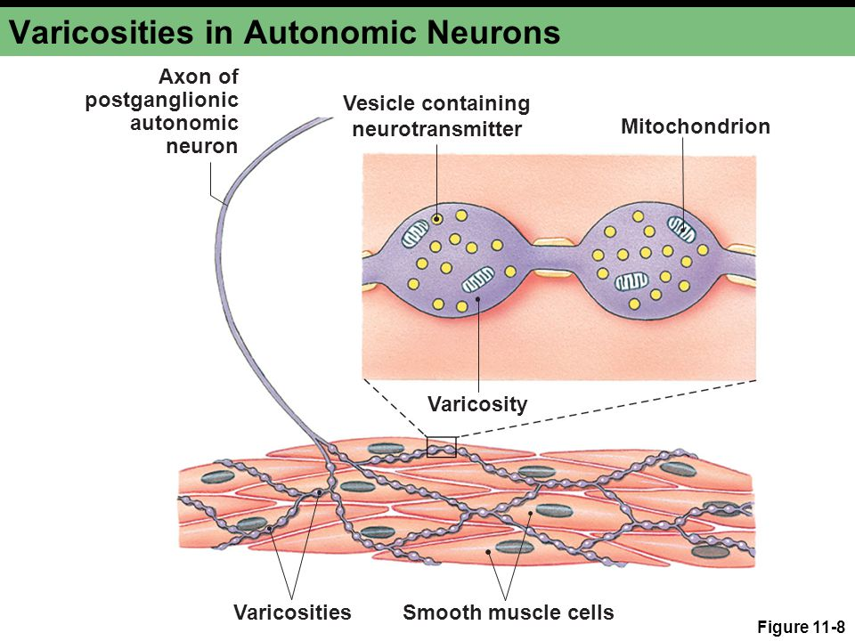 Figure 11-8 Varicosities in Autonomic Neurons Mitochondrion VaricositiesSmooth muscle cells Vesicle containing neurotransmitter Axon of postganglionic