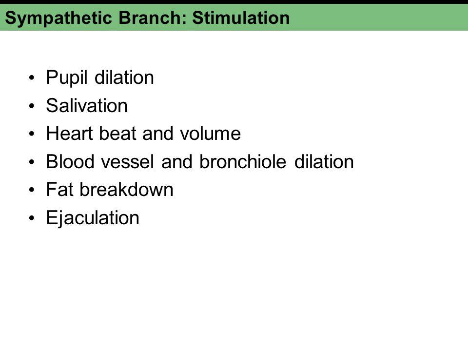 Sympathetic Branch: Stimulation Pupil dilation Salivation Heart beat and volume Blood vessel and bronchiole dilation Fat breakdown Ejaculation