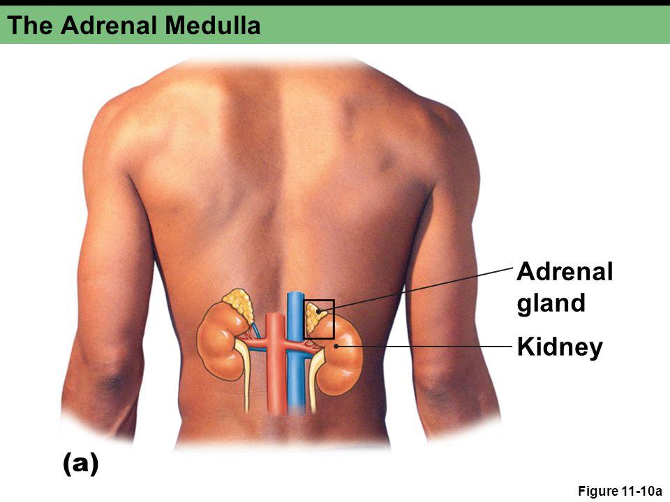 Figure 11-10a The Adrenal Medulla Adrenal gland Kidney (a)
