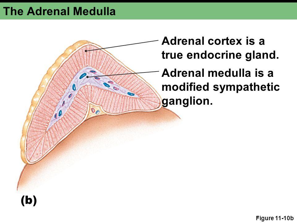 Figure 11-10b The Adrenal Medulla Adrenal medulla is a modified sympathetic ganglion. Adrenal cortex is a true endocrine gland. (b)