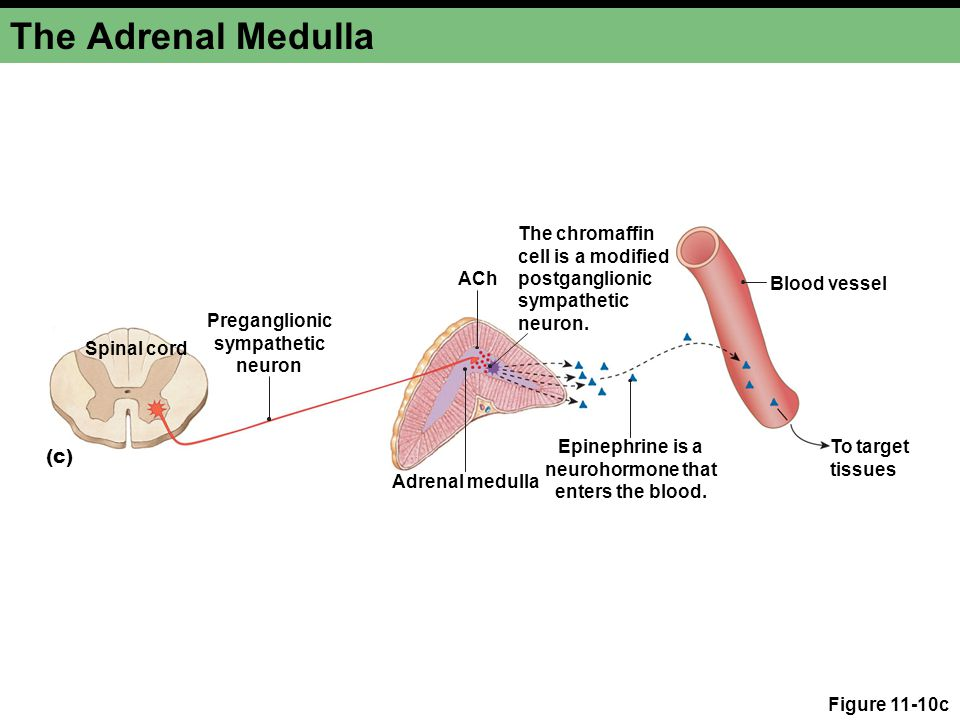 Figure 11-10c The Adrenal Medulla ACh Adrenal medulla The chromaffin cell is a modified postganglionic sympathetic neuron. Preganglionic sympathetic n