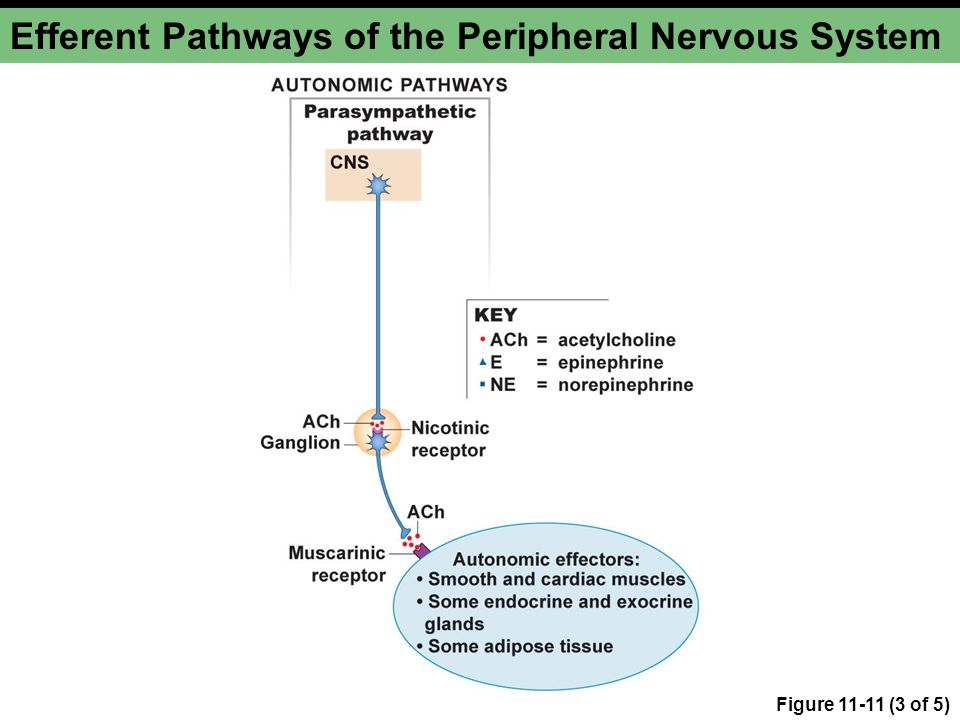 Figure 11-11 (3 of 5) Efferent Pathways of the Peripheral Nervous System