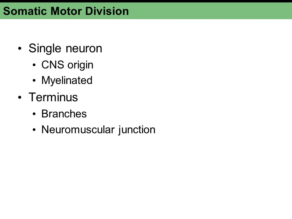 Somatic Motor Division Single neuron CNS origin Myelinated Terminus Branches Neuromuscular junction