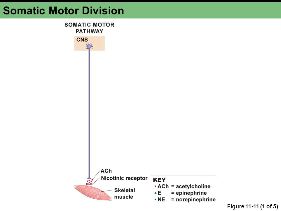 Figure 11-11 (1 of 5) Somatic Motor Division