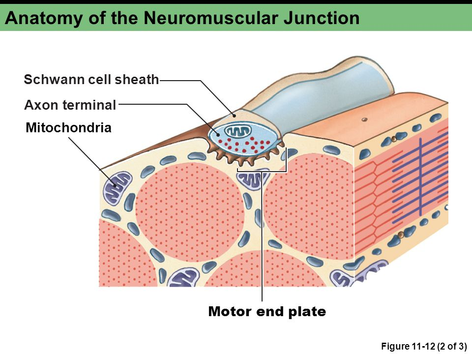 Figure 11-12 (2 of 3) Anatomy of the Neuromuscular Junction Motor end plate Mitochondria Schwann cell sheath Axon terminal