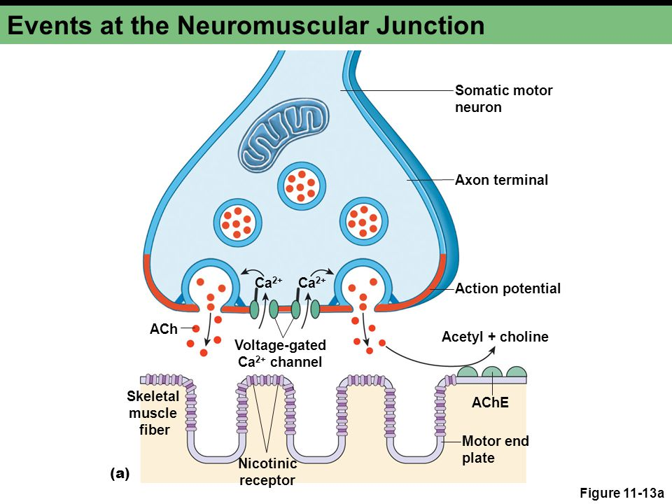 Figure 11-13a Events at the Neuromuscular Junction Skeletal muscle fiber AChE Voltage-gated Ca 2+ channel Action potential ACh Ca 2+ Acetyl + choline