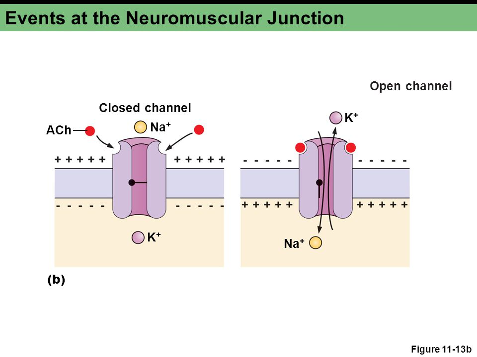 Figure 11-13b Events at the Neuromuscular Junction K+K+ Na + K+K+ ACh Closed channel (b) Open channel