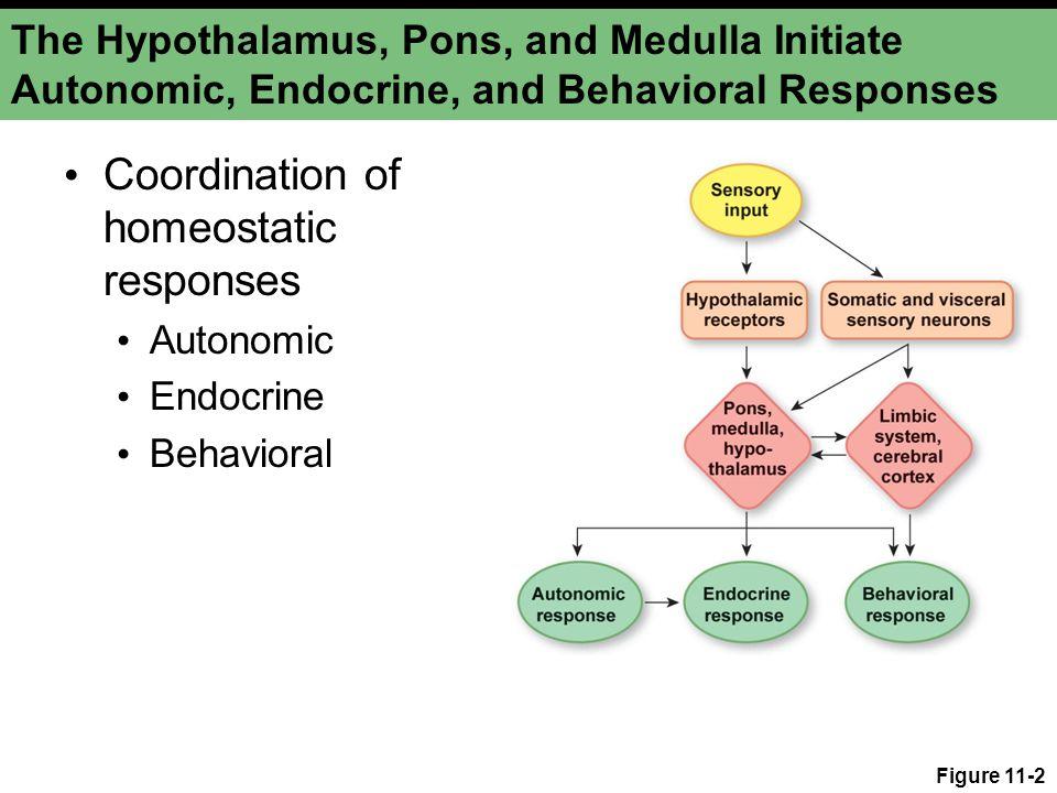 The Hypothalamus, Pons, and Medulla Initiate Autonomic, Endocrine, and Behavioral Responses Coordination of homeostatic responses Autonomic Endocrine