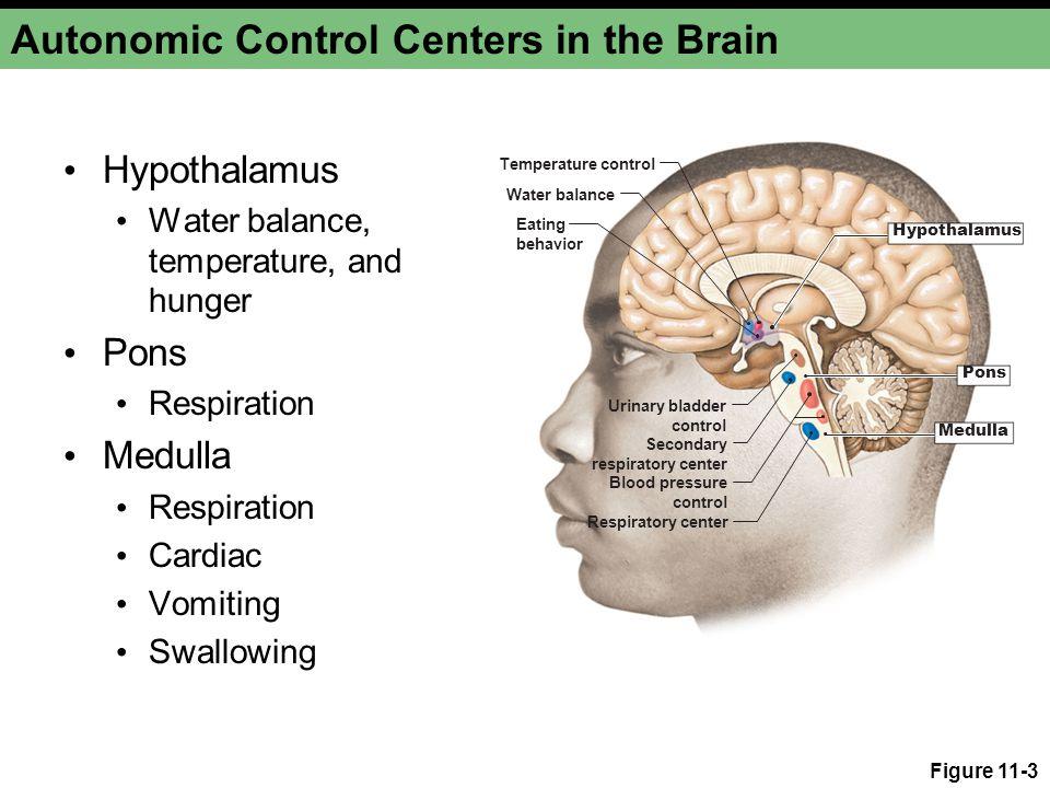 Figure 11-3 Autonomic Control Centers in the Brain Hypothalamus Water balance, temperature, and hunger Pons Respiration Medulla Respiration Cardiac Vo