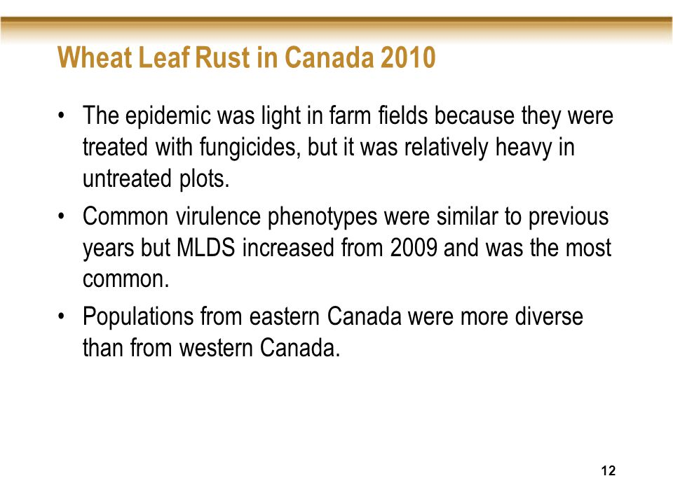 12 Wheat Leaf Rust in Canada 2010 The epidemic was light in farm fields because they were treated with fungicides, but it was relatively heavy in untreated plots.