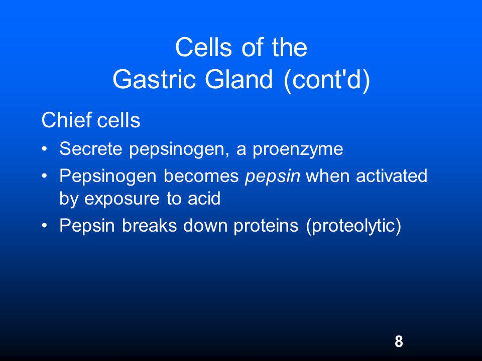8 Cells of the Gastric Gland (cont'd) Chief cells Secrete pepsinogen, a proenzyme Pepsinogen becomes pepsin when activated by exposure to acid Pepsin