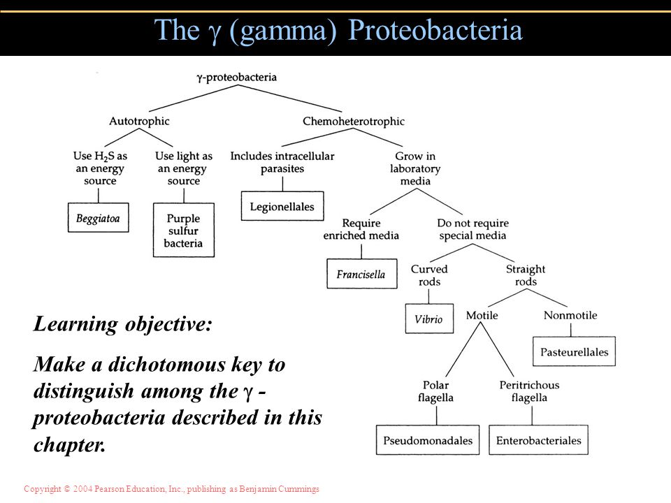 The  (gamma) Proteobacteria Learning objective: Make a dichotomous key to distinguish among the  - proteobacteria described in this chapter.