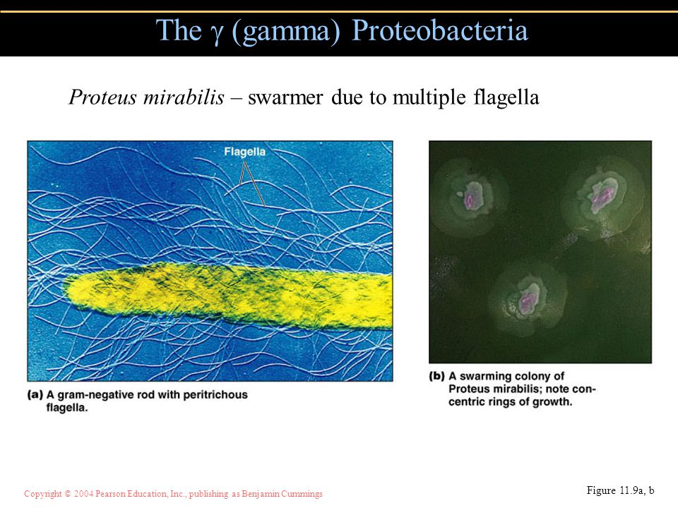 Copyright © 2004 Pearson Education, Inc., publishing as Benjamin Cummings The  (gamma) Proteobacteria Figure 11.9a, b Proteus mirabilis – swarmer due to multiple flagella