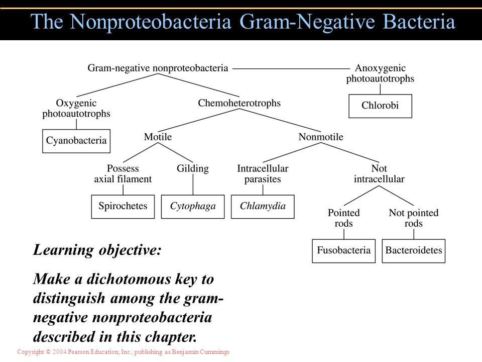 The Nonproteobacteria Gram-Negative Bacteria Learning objective: Make a dichotomous key to distinguish among the gram- negative nonproteobacteria desc