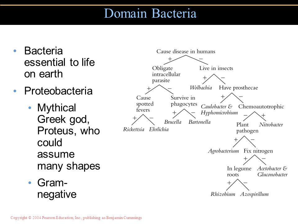 Copyright © 2004 Pearson Education, Inc., publishing as Benjamin Cummings Bacteria essential to life on earth Proteobacteria Mythical Greek god, Prote
