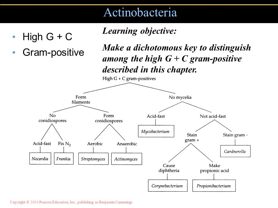 Copyright © 2004 Pearson Education, Inc., publishing as Benjamin Cummings High G + C Gram-positive Actinobacteria Learning objective: Make a dichotomous key to distinguish among the high G + C gram-positive described in this chapter.