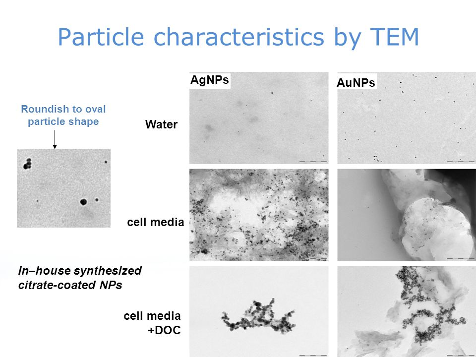 Particle characteristics by TEM AgNPs Water cell media cell media +DOC Roundish to oval particle shape AuNPs In–house synthesized citrate-coated NPs