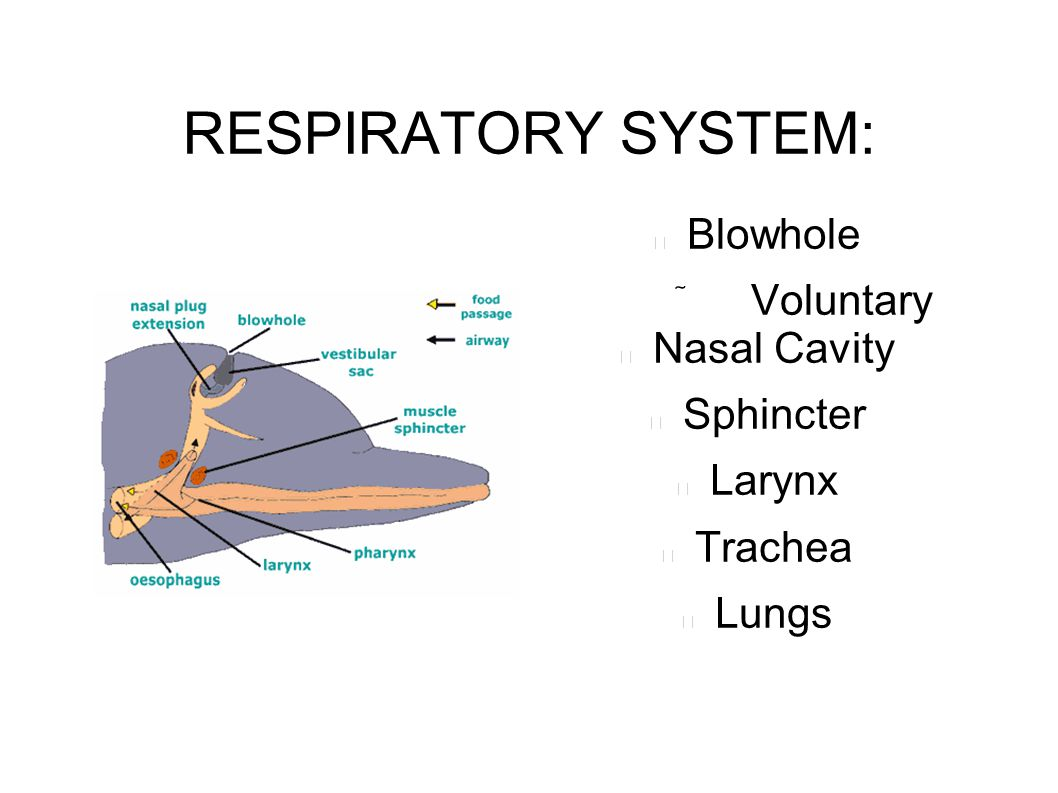 RESPIRATORY SYSTEM: Blowhole  Voluntary Nasal Cavity Sphincter Larynx Trachea Lungs