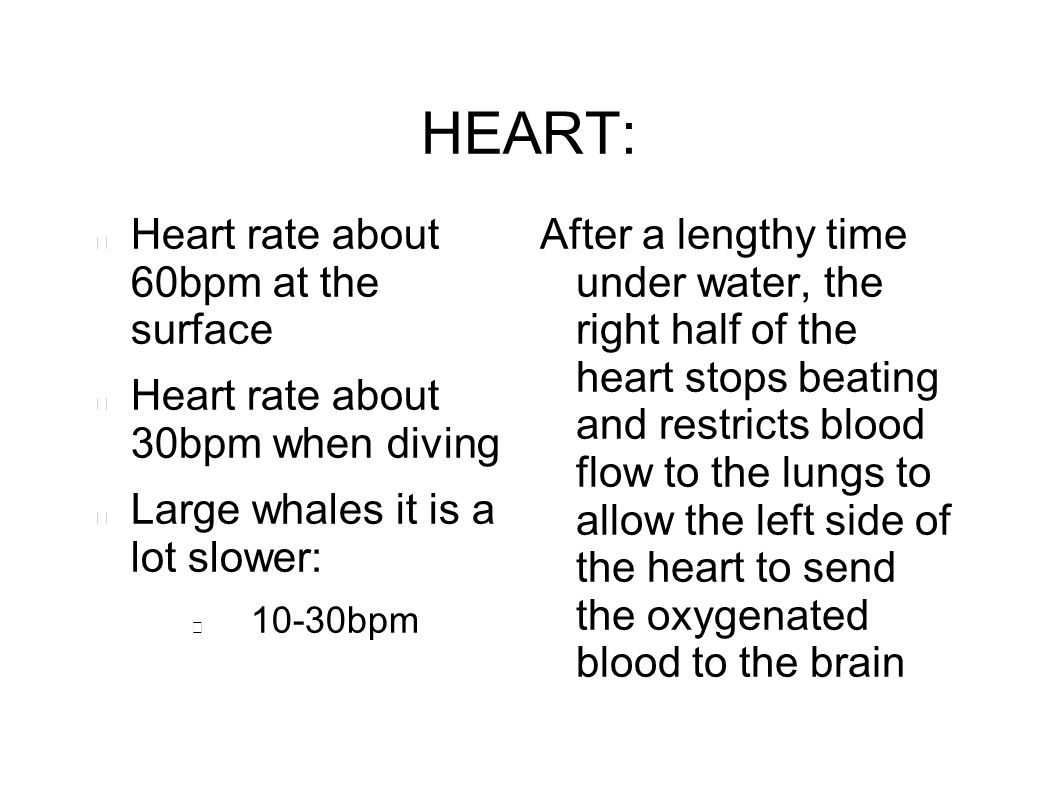 HEART: Heart rate about 60bpm at the surface Heart rate about 30bpm when diving Large whales it is a lot slower: 10-30bpm After a lengthy time under w