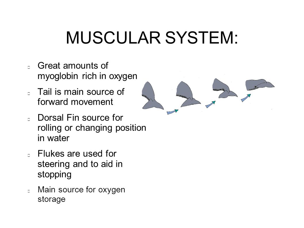 MUSCULAR SYSTEM: Great amounts of myoglobin rich in oxygen Tail is main source of forward movement Dorsal Fin source for rolling or changing position