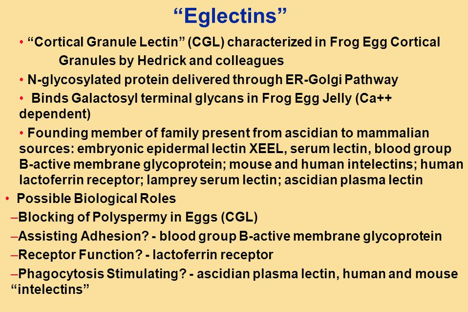 Eglectins Cortical Granule Lectin (CGL) characterized in Frog Egg Cortical Granules by Hedrick and colleagues N-glycosylated protein delivered through ER-Golgi Pathway Binds Galactosyl terminal glycans in Frog Egg Jelly (Ca++ dependent) Founding member of family present from ascidian to mammalian sources: embryonic epidermal lectin XEEL, serum lectin, blood group B-active membrane glycoprotein; mouse and human intelectins; human lactoferrin receptor; lamprey serum lectin; ascidian plasma lectin Possible Biological Roles –Blocking of Polyspermy in Eggs (CGL) –Assisting Adhesion.