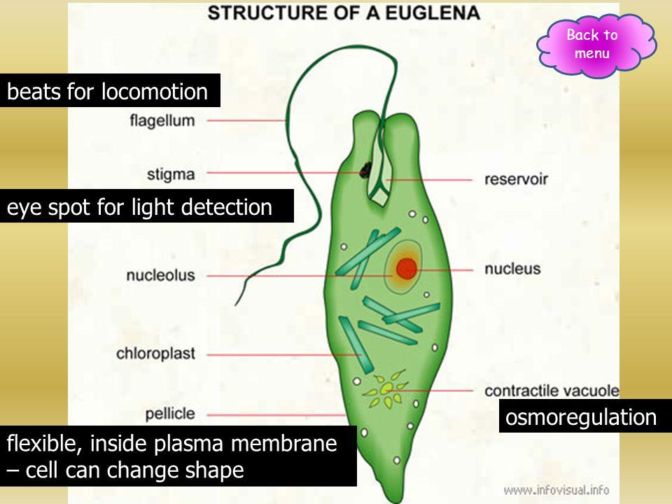 beats for locomotion eye spot for light detection flexible, inside plasma membrane – cell can change shape osmoregulation Back to menu