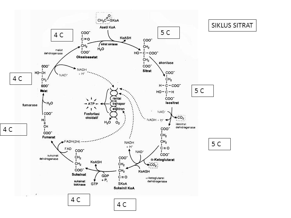 SIKLUS SITRAT 5 C 4 C 5 C
