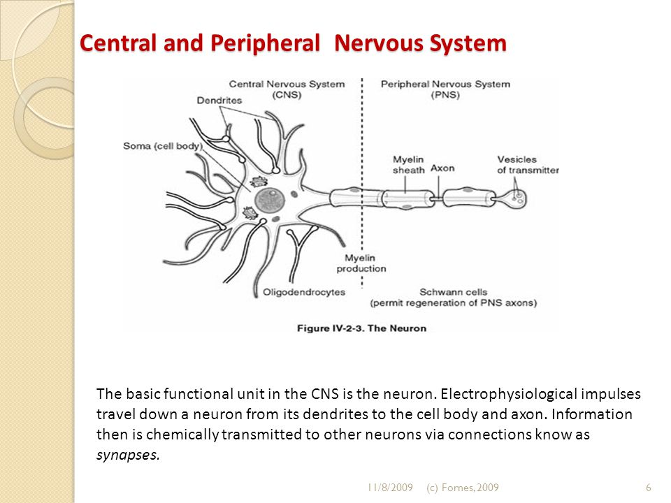Central and Peripheral Nervous System The basic functional unit in the CNS is the neuron. Electrophysiological impulses travel down a neuron from its