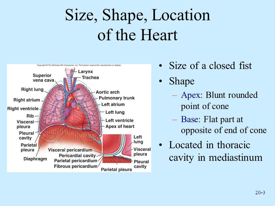 20-4 Heart Cross Section
