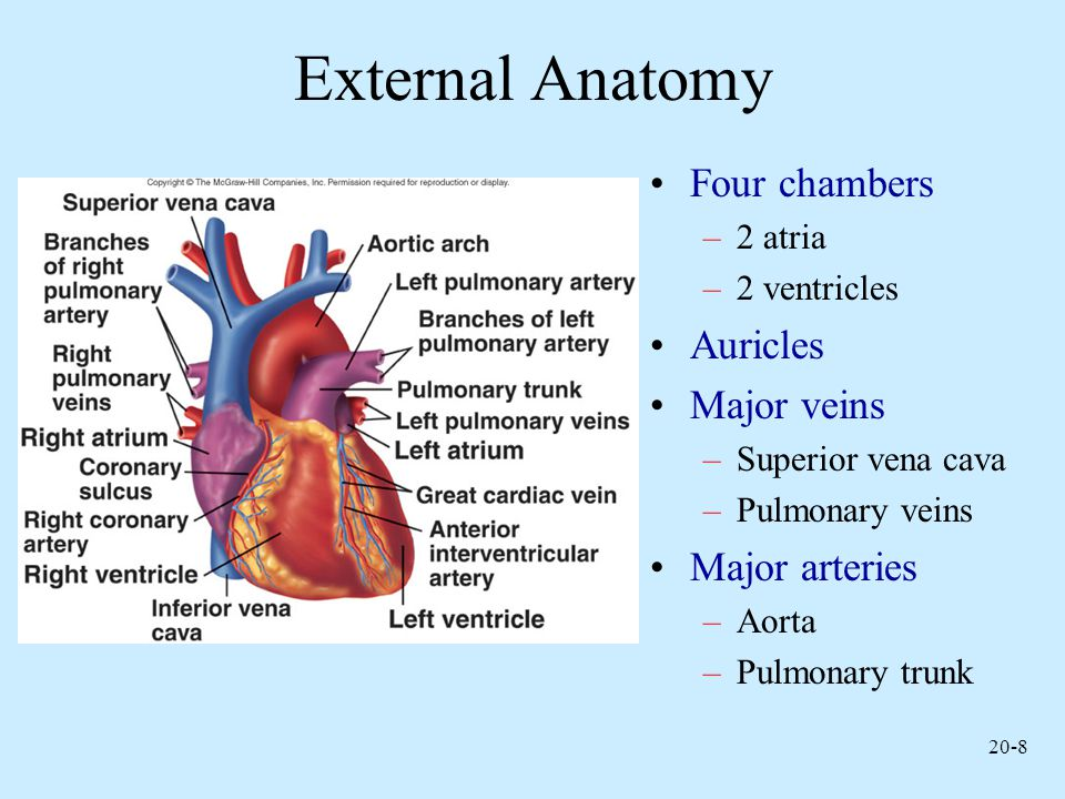 20-29 Heart Sounds First heart sound or lubb –Atrioventricular valves and surrounding fluid vibrations as valves close at beginning of ventricular systole Second heart sound or dupp –Results from closure of aortic and pulmonary semilunar valves at beginning of ventricular diastole, lasts longer Third heart sound (occasional) –Caused by turbulent blood flow into ventricles and detected near end of first one-third of diastole