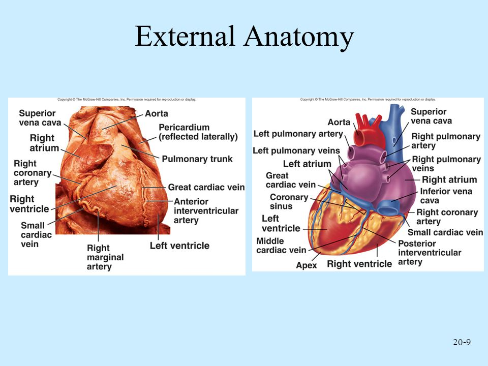 20-30 Location of Heart Valves