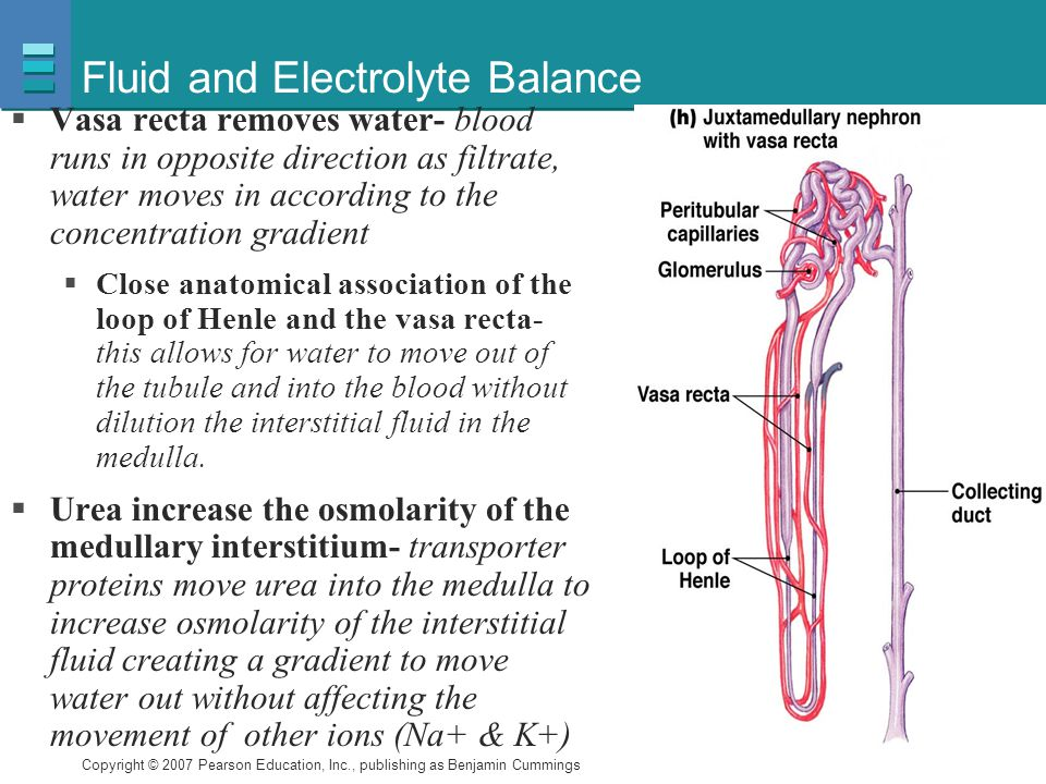 Copyright © 2007 Pearson Education, Inc., publishing as Benjamin Cummings Fluid and Electrolyte Balance  Vasa recta removes water- blood runs in oppo