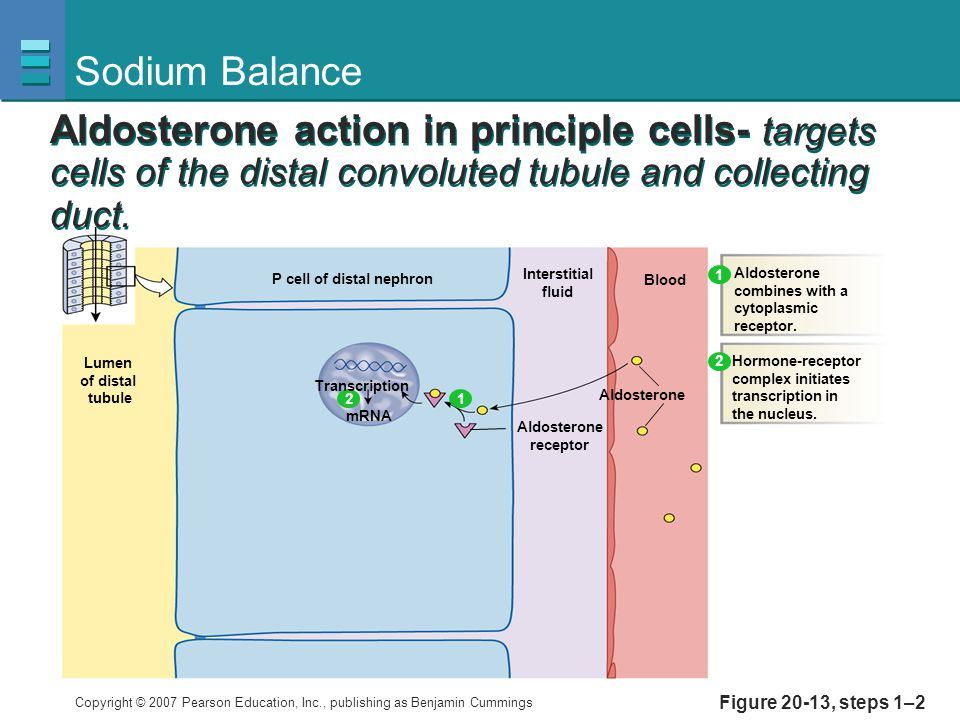 Copyright © 2007 Pearson Education, Inc., publishing as Benjamin Cummings Figure 20-13, steps 1–2 Sodium Balance Interstitial fluid Blood Aldosterone