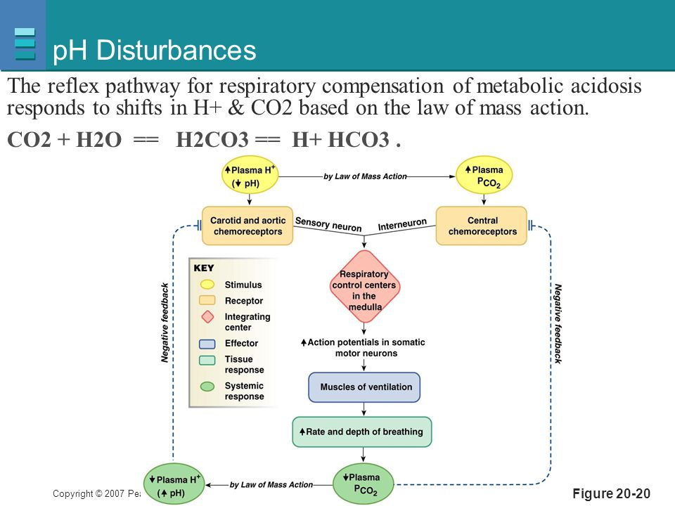 Copyright © 2007 Pearson Education, Inc., publishing as Benjamin Cummings Figure 20-20 pH Disturbances The reflex pathway for respiratory compensation