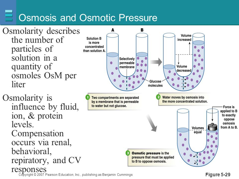 Copyright © 2007 Pearson Education, Inc., publishing as Benjamin Cummings Figure 5-29 Osmosis and Osmotic Pressure Osmolarity describes the number of