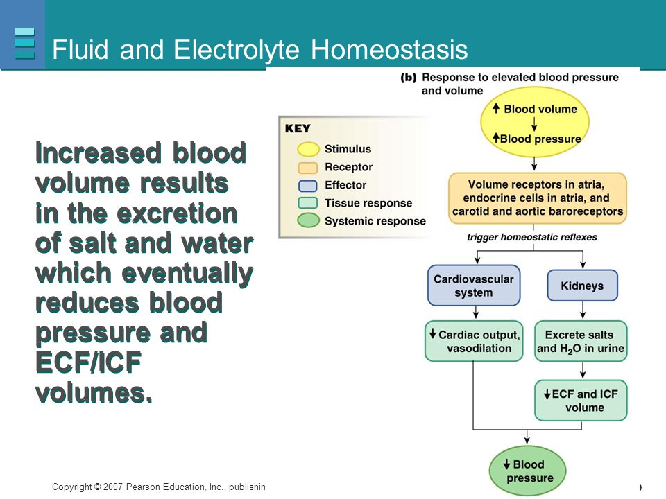 Copyright © 2007 Pearson Education, Inc., publishing as Benjamin Cummings Figure 20-1b Fluid and Electrolyte Homeostasis Increased blood volume result