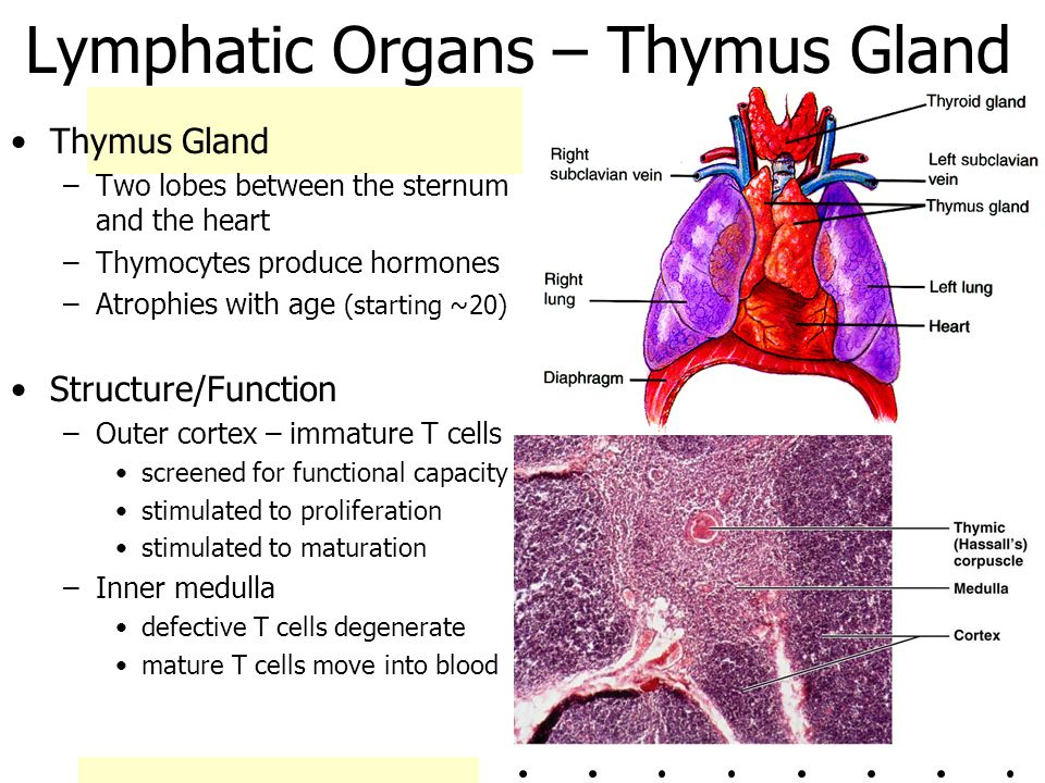Lymphatic Organs – Thymus Gland Thymus Gland –Two lobes between the sternum and the heart –Thymocytes produce hormones –Atrophies with age (starting ~