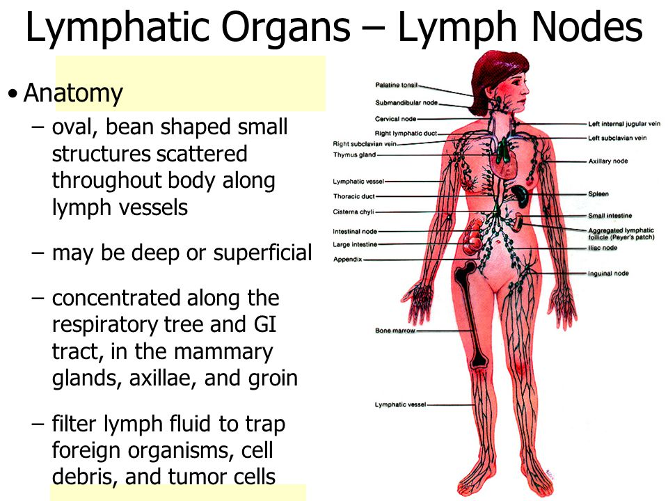 Lymphatic Organs – Lymph Nodes Anatomy –oval, bean shaped small structures scattered throughout body along lymph vessels –may be deep or superficial –