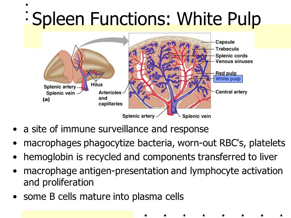 Spleen Functions: White Pulp a site of immune surveillance and response macrophages phagocytize bacteria, worn-out RBC's, platelets hemoglobin is recy