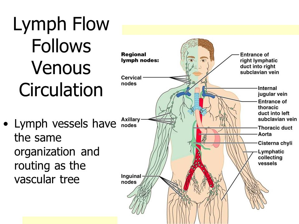 Circulation in the Lymph Nodes Lymph enters via a number of afferent lymphatic vessels It then enters a large subcapsular sinus and travels into a number of smaller sinuses It meanders through these sinuses and exits the node at the hilus via efferent vessels The node acts as a settling tank, because there are fewer efferent vessels, lymph stagnates somewhat in the node This allows lymphocytes and macrophages time to carry out their protective functions Only lymph nodes filter lymph!