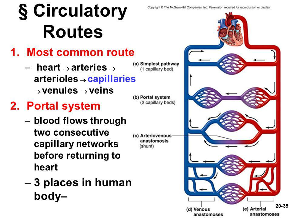 § Circulatory Routes 1.Most common route – heart  arteries  arterioles  capillaries  venules  veins 2.Portal system –blood flows through two cons