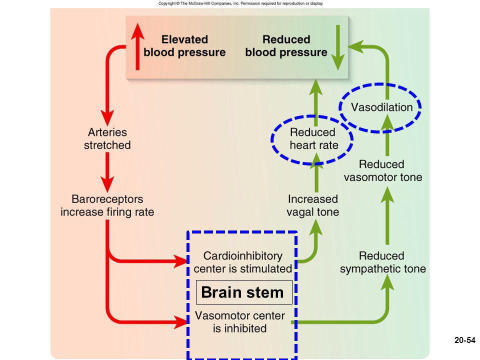 Figure 20.13 Brain stem 20-54