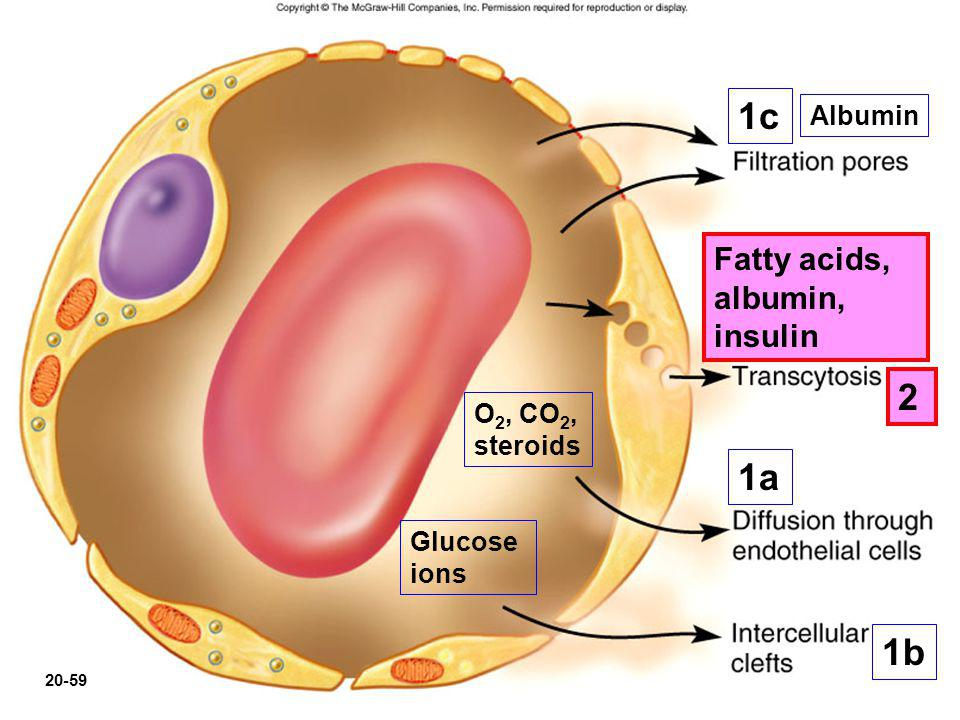 O 2, CO 2, steroids Glucose ions 1a 2 1b 1c Fatty acids, albumin, insulin 20-59 Albumin