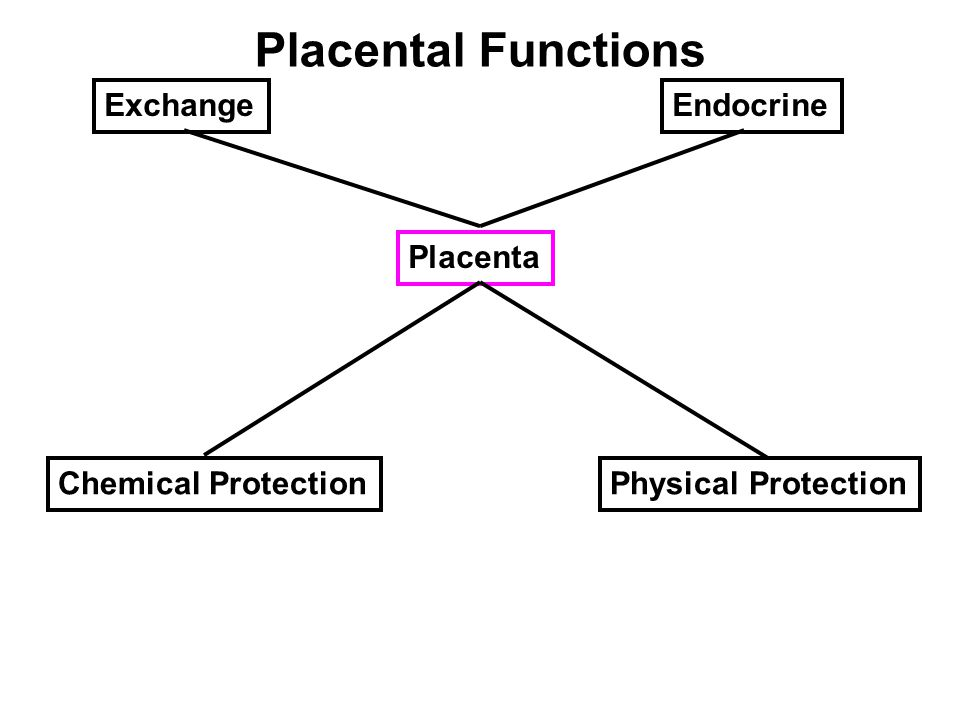 Placental Functions Placenta Chemical ProtectionPhysical Protection EndocrineExchange