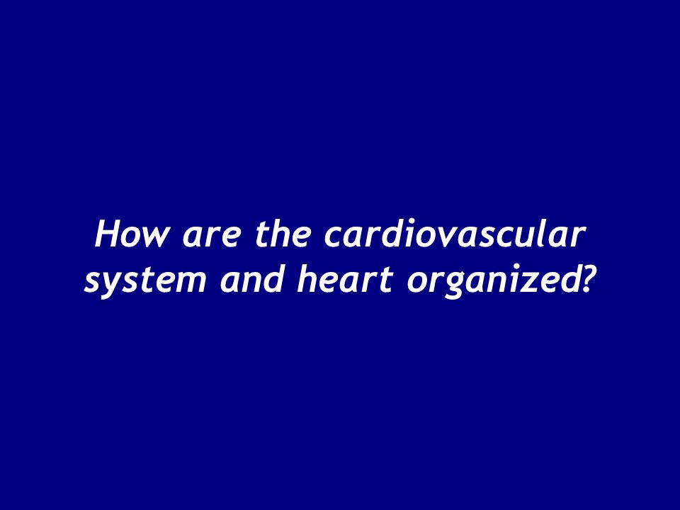 How are the cardiovascular system and heart organized?