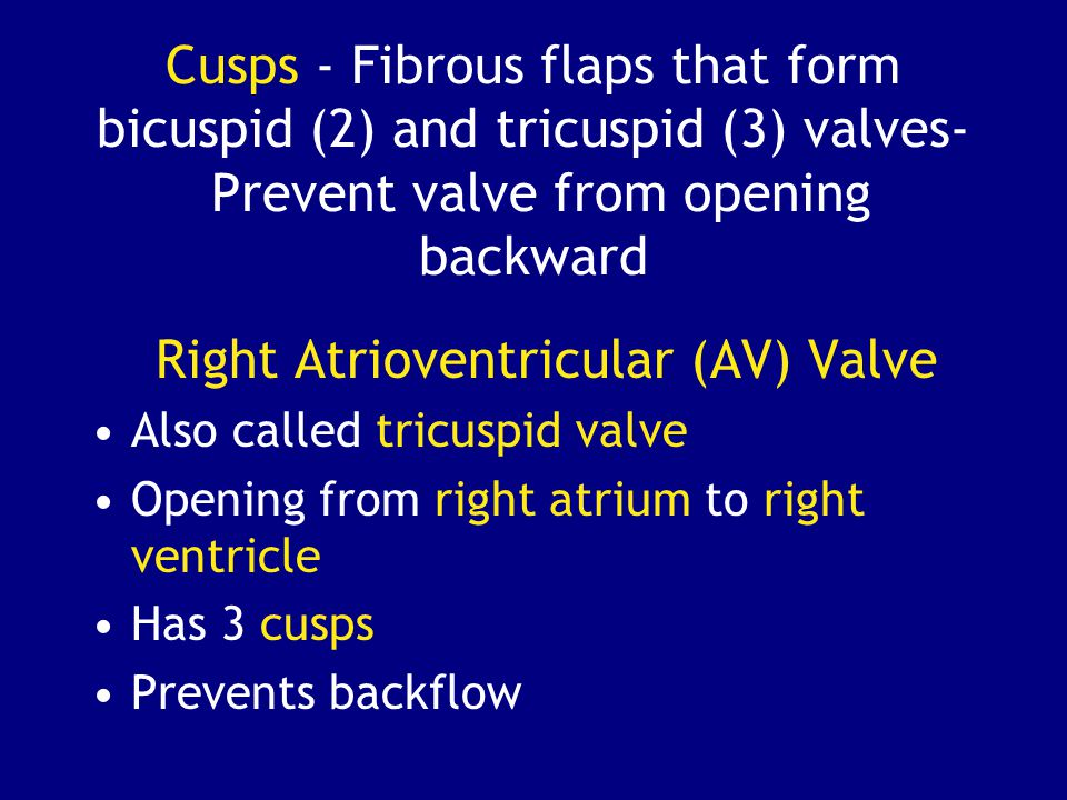 Cusps - Fibrous flaps that form bicuspid (2) and tricuspid (3) valves- Prevent valve from opening backward Right Atrioventricular (AV) Valve Also called tricuspid valve Opening from right atrium to right ventricle Has 3 cusps Prevents backflow