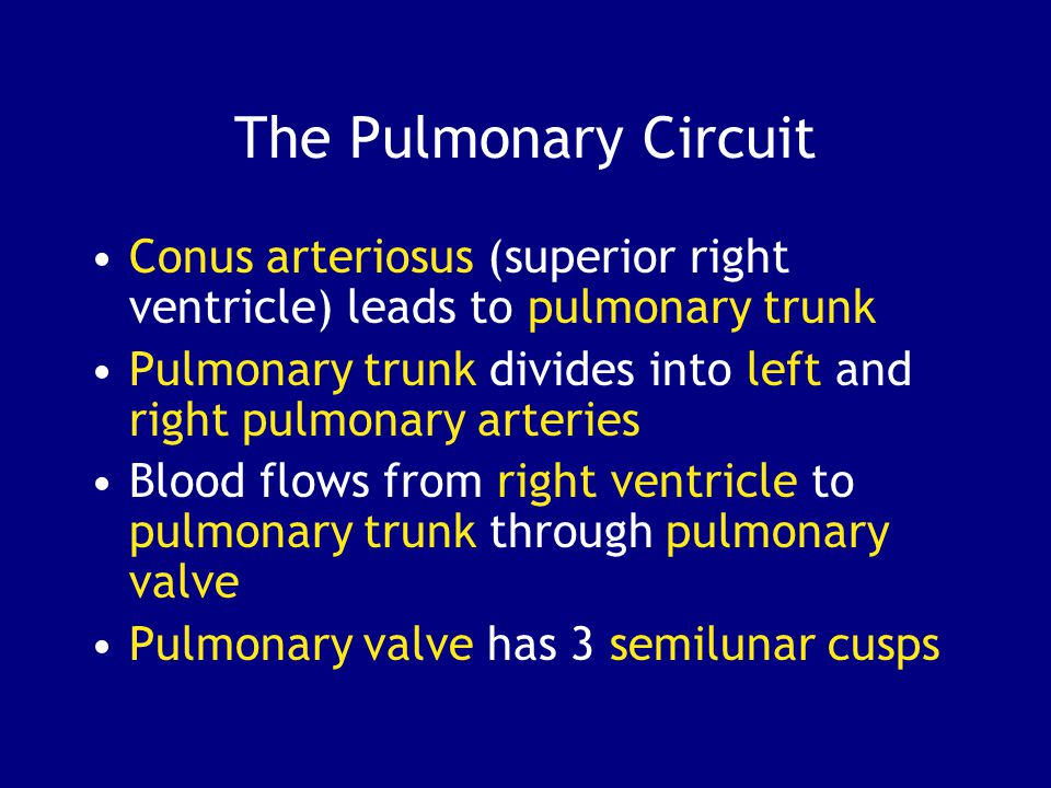 The Pulmonary Circuit Conus arteriosus (superior right ventricle) leads to pulmonary trunk Pulmonary trunk divides into left and right pulmonary arteries Blood flows from right ventricle to pulmonary trunk through pulmonary valve Pulmonary valve has 3 semilunar cusps