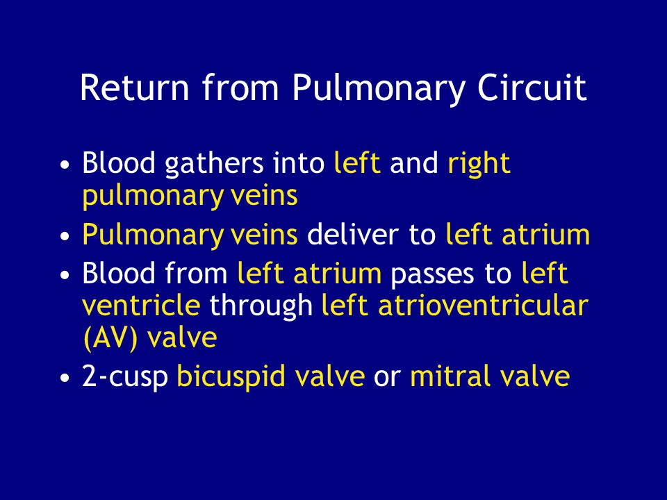 Return from Pulmonary Circuit Blood gathers into left and right pulmonary veins Pulmonary veins deliver to left atrium Blood from left atrium passes to left ventricle through left atrioventricular (AV) valve 2-cusp bicuspid valve or mitral valve